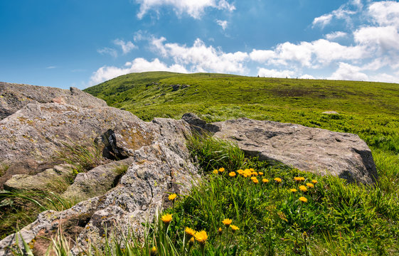 yellow dandelions on a grassy hillside. giant boulders on the grassy slope of Polonina Runa mountain ridge in summer