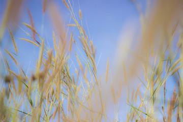 The soft feathered grass has a scientific name, Pennisetum pedicellatum Trin.