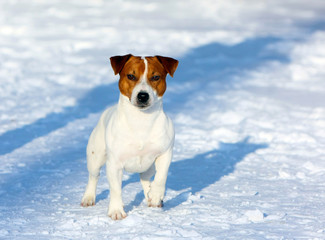 Jack Russell Terrier posing on the snow. A dog walks in the winter on the street. Active puppy in the park on a sunny and frosty day. Horizontal image.
