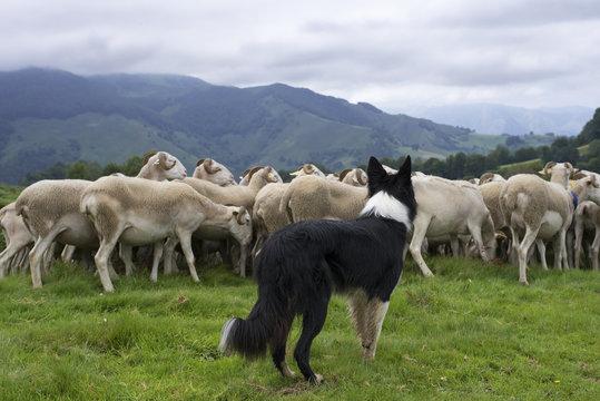 border collie dirigeant un troupeau de moutons