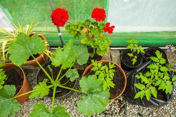 Indoor scene of seedlings in Poly tunnel.