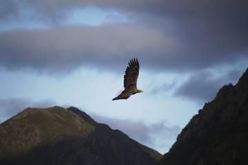 Seeadler, Raftsund, Norwegen