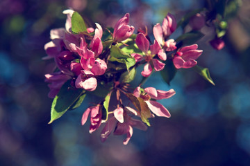 Apple blossoms, toned photo
