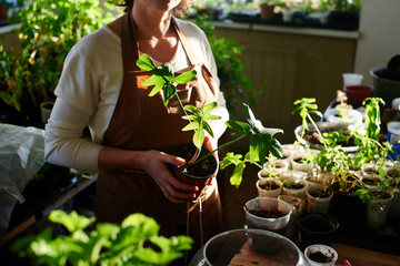 Women's hobby. Woman takes care of home plants and flowers