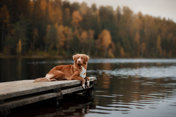 Dog Nova Scotia duck tolling Retriever on a wooden pier