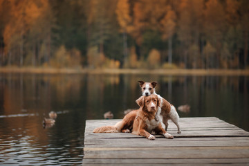 Dog Jack Russell Terrier and Nova Scotia duck tolling Retriever on a wooden pier