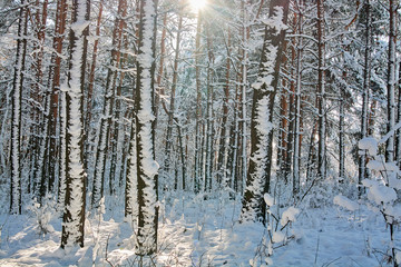 Landscape of the winter sunny forest