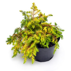 Juniperus media Gold Coast in a pot isolated on white background. Coniferous trees. Flat lay, top view