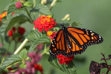 Monarch - Closeup of Orange Butterfly