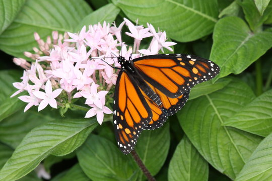 Monarch - Closeup of Orange Butterfly