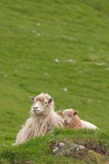 Faroe island, sheep