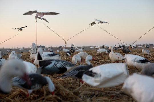 Decoy ducks in wetlands during a waterfowl hunt