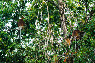 Some Proboscis monkeys or long nosed monkeys (Nasalis larvatus) sit dangling tails on  tree in the jungles of Borneo. Malaysia.
