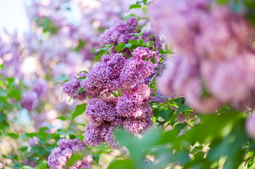 Fototapete - Lilac flowers background