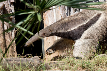 Buscar fotos: pilosa Ragnarok Online 2 Anteater