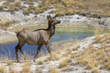 American elk (Cervus canadensis) female grazing near a thermal spring, Yellowstone National Park, Wyoming, USA