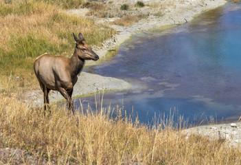 Female mule deer (Odocoileus hemionus) grazing near a thermal spring, Yellowstone National Park, Wyoming, USA
