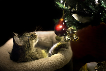Cute maine coon cat playing with christmas tree decorations.  The pet is in an xmas sock.  The living room is dark and lit by holiday lights.