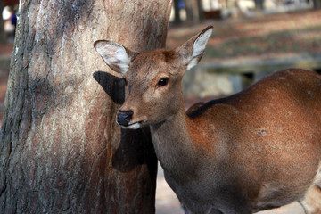 Deer standing beside the trunk of tree at the park in Nara, Japan. The park is home to hundreds of freely roaming deer.