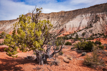 Juniper Tree at Kodachrome basin State Park, Utah, USA