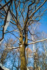 Snowy oak tree