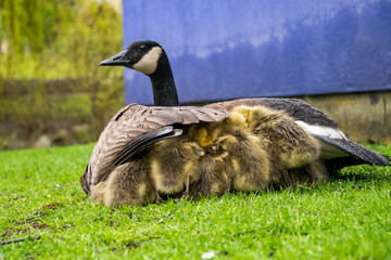 goslings hiding under mama goose's wings under the rain