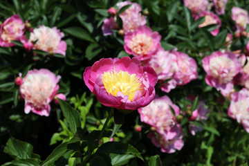 "Flowering hybrid pink peony ""KINSUI"" in the spring garden."