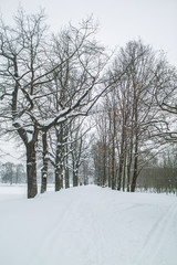 An oak alley at winter park after snow storm