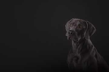 breed dog Weimar pointer on gray background
