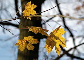 żółte liście klonu