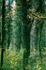 drzewa porośnięte bluszczem