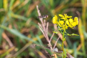 Schwebfliege auf einer blühenden Senfpflanze