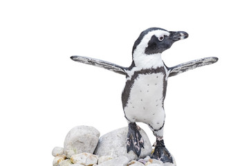 baby penguin with wings outstretched on rocks