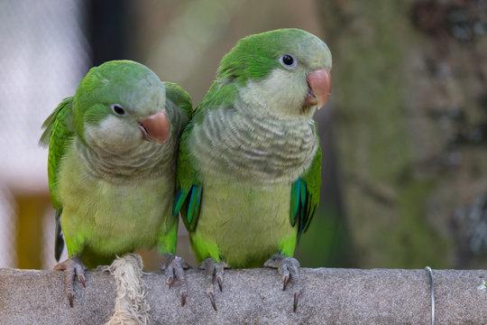 Beautiful Monk Parakeet (Myiopsitta monachus) bird. Couple green Monk Parakeet in the garden