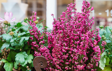 heather flowers outdoor