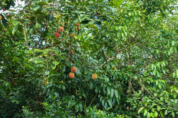 Rambutan fruit growing on tree in Can Tho city, Viet Nam