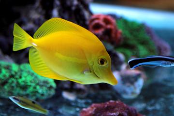 Zebrasoma Yellow Tang in reef aquarium tank