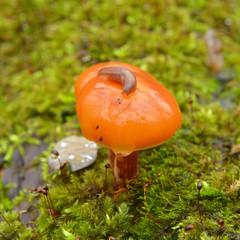 flammulina velutipes, enokitake mushroom