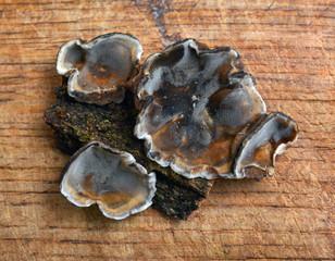 Bjerkandera adusta fungus