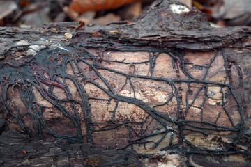 armillaria mushroom root rot