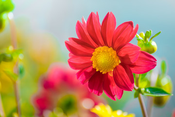 Beautiful dahlia in the garden on a blurred background