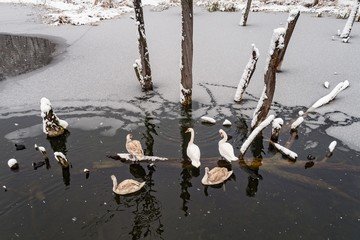 Flock of swans at the wintertime