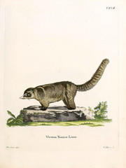Illustration of civet