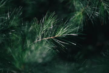 Pine needles. Guilderland, NY. 2017.