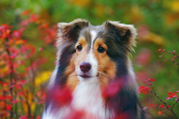 The portrait of a cute sable Sheltie dog posing outdoors with red bushes in autumn Wall mural