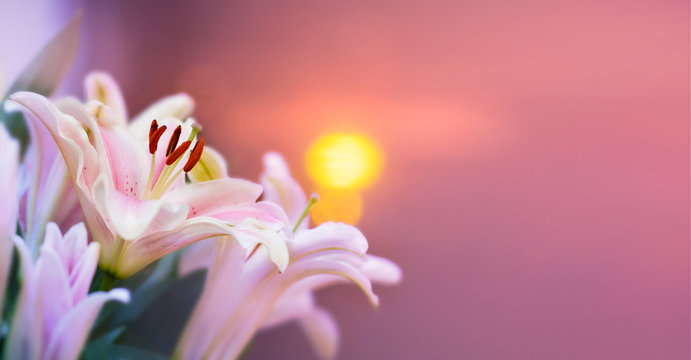 Pink lilly in the garden and tone color pink,Lilly flowers (shallow dof) Natural Banner
