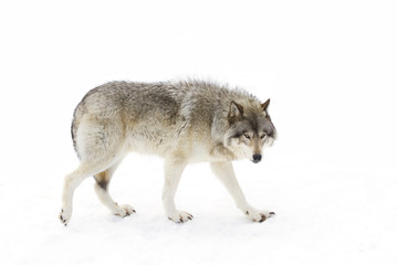 Foto auf Leinwand Wolf Timber wolf or Grey Wolf (Canis lupus) isolated on a white background walking in the winter snow in Canada