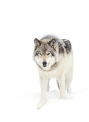 Timber wolf (Canis lupus) walking in the winter snow