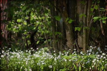 Glade with white stellaria flowers on a background of hazel bush. Horizontal image