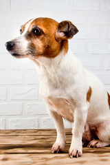 Jack Russell Terrier dog sitting on a wooden background.